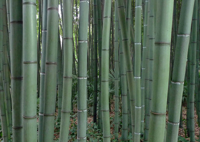 Bambou20050