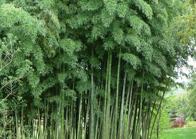 Bambou20054