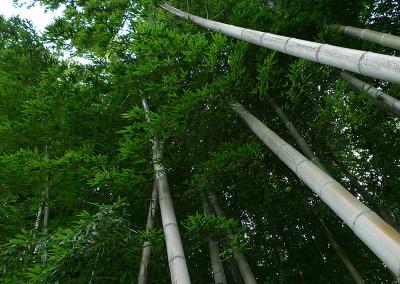 Bambou20069