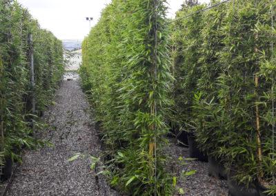 Bambou palissé en haie