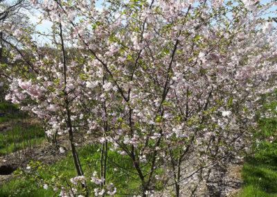 Cerisier a fleurs forme cépée