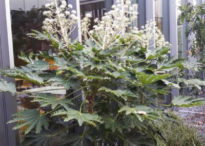 Fatsia japonica en fleurs