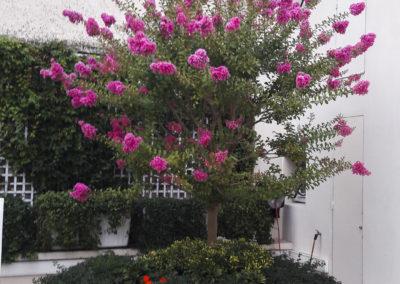 Lagerstroemia indica en fleurs