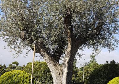 Olivier vieux tronc