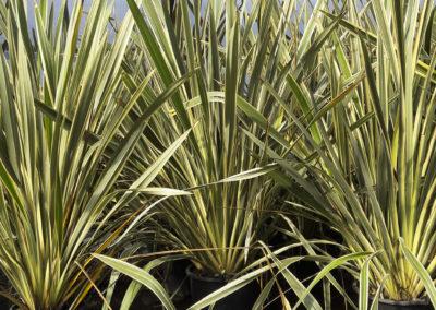 Phormium tenax variegatum
