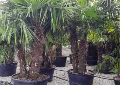 Trachycarpus fortunei multi tronc