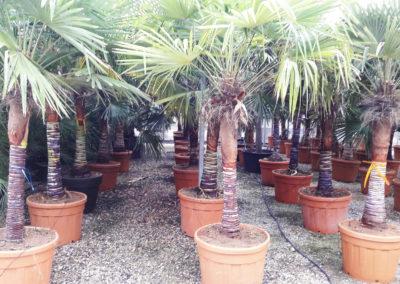 Trachycarpus tronc nettoyé