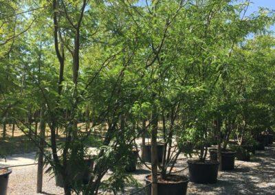 Gleditsia triacanthos 'Sunburst' en cépée